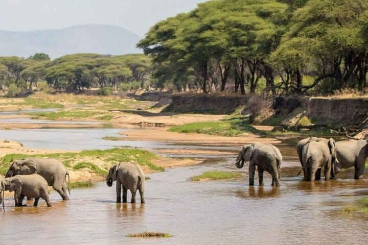 African elephants drinking water on Tarangire river