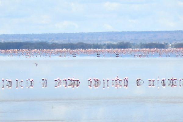 Flamingoes at a distance in Manyara