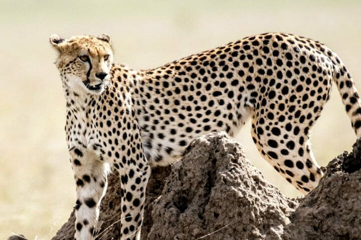 Cheetah on view point