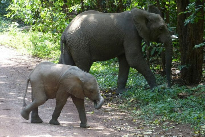 elephants baby crossing the road