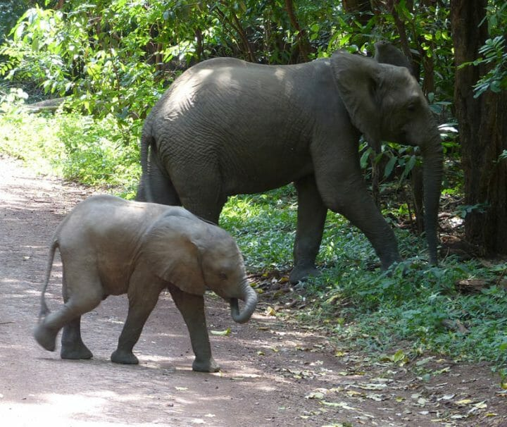 elephants baby crossing the road